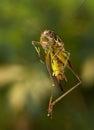 Grasshopper in a jump in the garden Stock Photos
