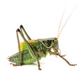 Grasshopper macro image of a isolated on white background Stock Images