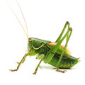 Grasshopper macro image of a isolated on white background Royalty Free Stock Photography