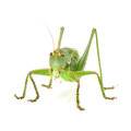 Grasshopper macro image of a isolated on white background Stock Image