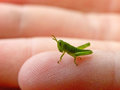 Grasshopper nymph a close up view of a on a child s hand Stock Photography