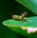 Grasshopper with parasitic worm a young infected a Stock Images