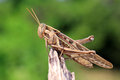 Grasshopper perching Stock Image