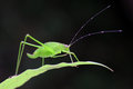 Grasshopper perching Royalty Free Stock Images