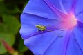 Grasshopper a posing over a violet flower Royalty Free Stock Photography
