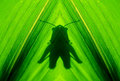 Grasshopper s abstract shadow a fine art of on a corn leaf Royalty Free Stock Image