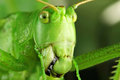 Grasshopper s mouth macro insects and beetles in your design Stock Photography