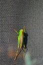 Grasshopper on screen Royalty Free Stock Photos