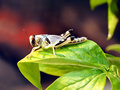 Grasshopper sitting on green leaves closeup Royalty Free Stock Photo