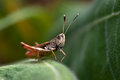 Grasshopper sitting on a leaf Royalty Free Stock Photo