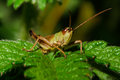 Grasshopper small sitting on leaves Stock Photos
