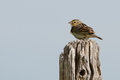 Grasshopper Sparrow Royalty Free Stock Photo
