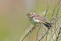 Grasshopper sparrow sitting in a tree Royalty Free Stock Photography