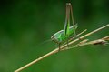 Grasshopper on a stalk in a field Stock Photo