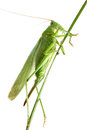 Grasshopper on a stalk isolated Stock Photo