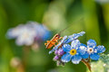 Grasshopper on a summer meadow sits on blue flowers of a forget Royalty Free Stock Photo