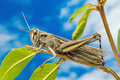 Grasshopper on tree a brown a among leaves some of them eaten away Royalty Free Stock Images