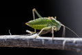 Grasshopper on twig Royalty Free Stock Photo
