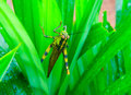 Grasshopper on wet leaf with waterdrops Royalty Free Stock Photo