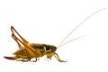 Grasshopper on a white background
