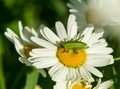 Grasshopper on wild flower close up shot of chamomile Royalty Free Stock Images