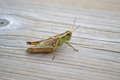 Grasshopper on wooden walkway of conservation area sitting this is native to ontario plant eating insect with antennae Royalty Free Stock Image