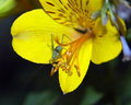 Grasshopper on yellow day lily Stock Photography