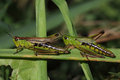 Grasshoppers Royalty Free Stock Image