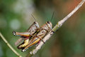 Grasshoppers couple in private moment close up Stock Photo