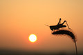 Grasshoppers and foxtail in sunset Royalty Free Stock Photography