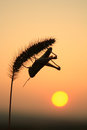 Grasshoppers and foxtail in sunset Royalty Free Stock Image