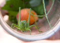 Grasshoppers in a glass jar close up macro Royalty Free Stock Photo