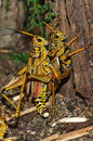 Grasshoppers hugging two and having a good time Stock Images