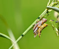 Grasshoppers in love Royalty Free Stock Photography