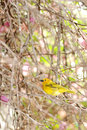 Grassland Yellow Finch Royalty Free Stock Images