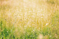 Grassy field with long leaf grass and wild flowers Royalty Free Stock Photo