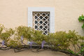 Grating window surrounded by a flowering wisteria on rough plaster wall Stock Images
