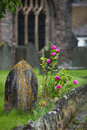 Gravestone and roses in a churchyard the rain dunster somerset england uk Royalty Free Stock Images