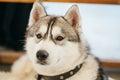 Gray adult siberian husky dog sibirsky husky close up portrait Royalty Free Stock Images