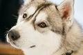 Gray adult siberian husky dog sibirsky husky close up portrait Stock Photography