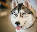 Gray adult siberian husky dog sibirsky husky close up portrait Stock Photos