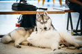 Gray adult siberian husky dog sibirsky husky and young samoyed playing on floor Royalty Free Stock Photography