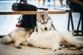 Gray adult siberian husky dog sibirsky husky and young samoyed playing on floor Royalty Free Stock Photography