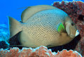 Gray angelfish pomacanthus arcuatus in a barrel sponge cozumel mexico Royalty Free Stock Photography