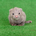 Gray animal mink small on green background Royalty Free Stock Images