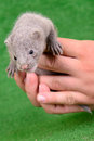 Gray animal mink small on a human hand on a green background Royalty Free Stock Photo