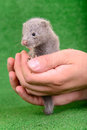 Gray animal mink small on a human hand on a green background Stock Photo
