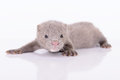 Gray animal mink small on white background Stock Photo