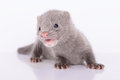 Gray animal mink small on a white background Stock Photography