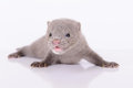 Gray animal mink small on white background Stock Image